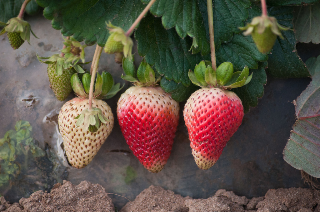 strawberry (Photo Credit: Lance Cheung, U.S. Department of Agriculture)
