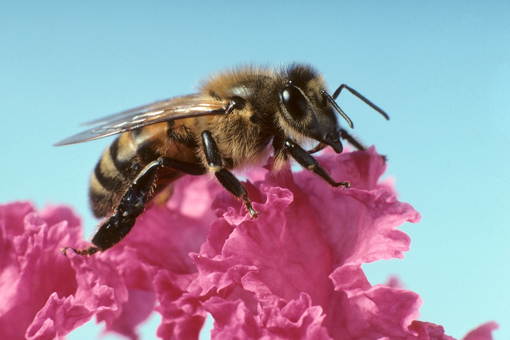 bee on pink flower (Photo Credit: U.S. Department of Agriculture)
