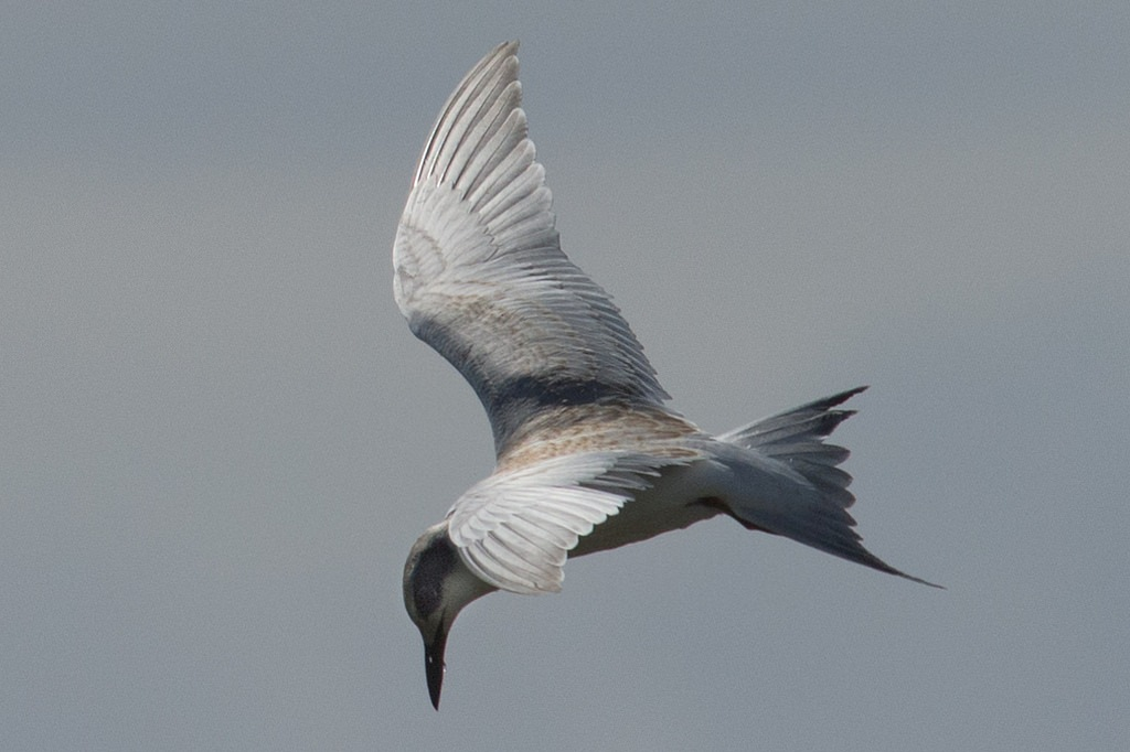 tern diving (Photo Credit: Barry Newberger, U.S. Fish and Wildlife Service)