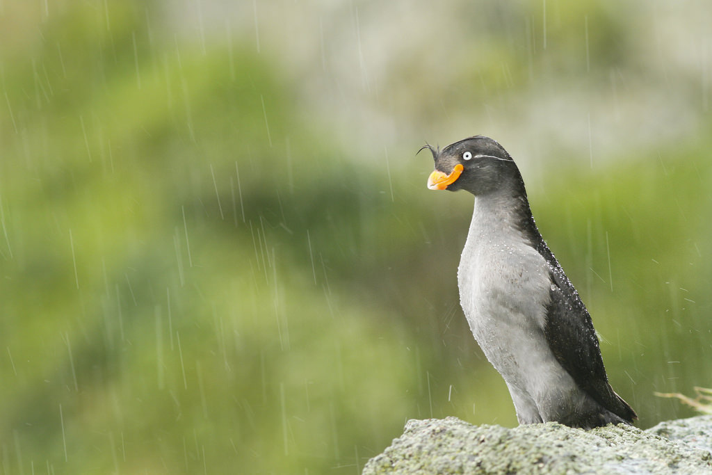 Crested Auklet seabird in the rain (Photo Credit: R. Dugan, U.S. Fish and Wildlife Service)