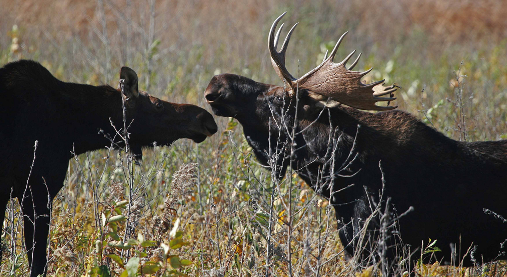 moose (Photo Credit: U.S. Fish and Wildlife Service)