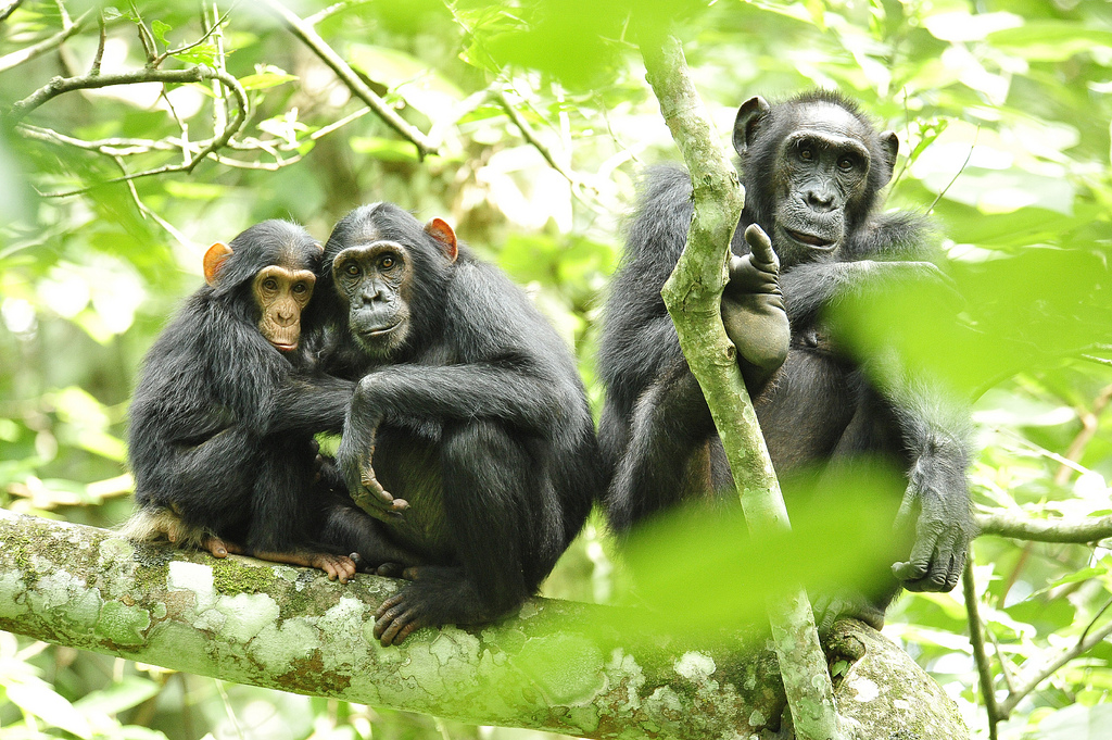 chimpanzees (Photo Credit: Julie Larsen Maher, USAID and the Wildlife Conservation Society)